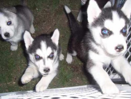 صور Males and Females Husky puppies available for Adoption 1