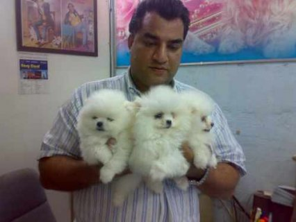 صور AKC Registered Pomeranian Puppies for good and caring homes 1