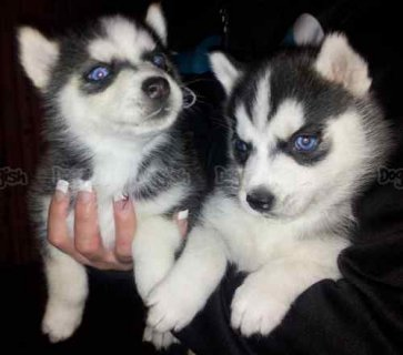 صور Blue eyes male siberian huksy puppies for adoption 1