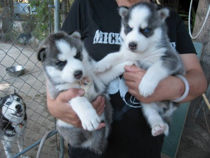 صور CUTE BLUE EYES SIBERIAN HUSKY PUPPIES READY FOR ADOPTION. 1