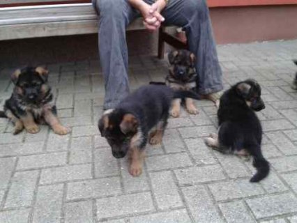 صور Cute and adorable male and female german shepherd puppies ready  1