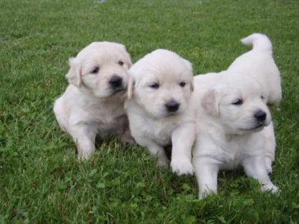صور Beautiful Golden Retriever Puppies Available For AdoptionCool 1