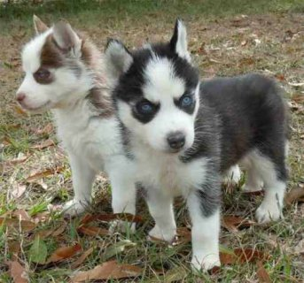 Decent And Well Trained Siberian Husky Puppies for Adoption