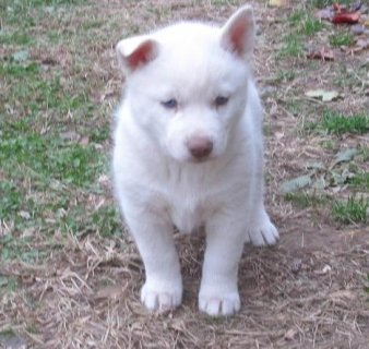 Male and Female plus baby Siberian Husky Puppies