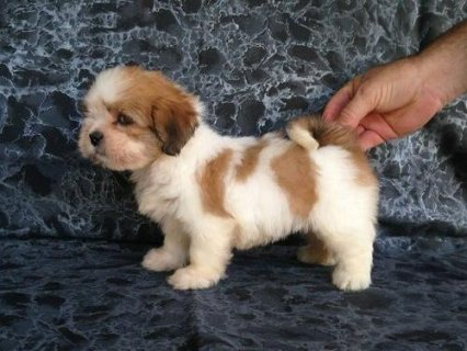 صور Calm Lhasa Apso puppies 1