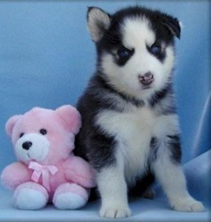 صور  2 Siberian Huskies for sale 1