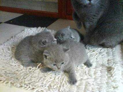 صور Males And Females British Short Hair Kittens available For New R 1