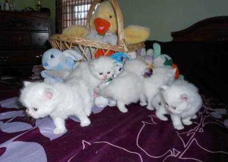 صور Teacup Persian Kittens For Adoption 1