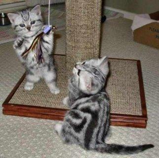 Beautiful litter of American curl short hair kittens for Adoppti