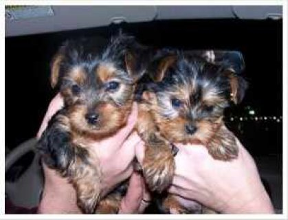 Teacup Male and Female Yorkie Puppies for adoption