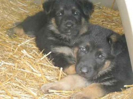 Beautiful German Shepherd Puppies for Adoption