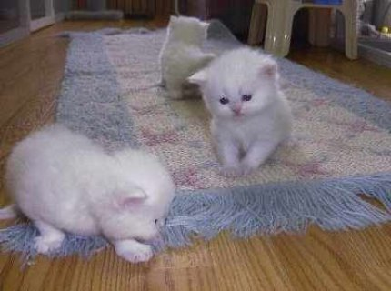 Gorgeous male and female white Teacup Persian Kittens in need of