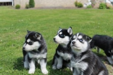 Beautiful Siberian Husky Puppuies For Adoption