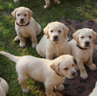 صور Affectionate Labrador Puppies For Adoption 1