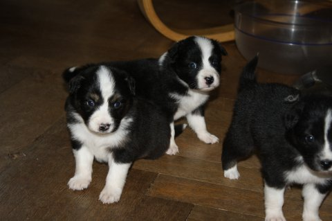 صور Australian Shepherd puppies for adoption 1