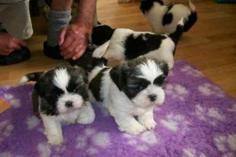 Adorable male and female Shih Tzu PUPPIES for adoption