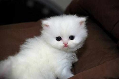 CFA Teacup Persian kittens ready to go now