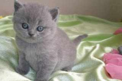 Beautiful British Blue Shorthair Kittens For Adoption