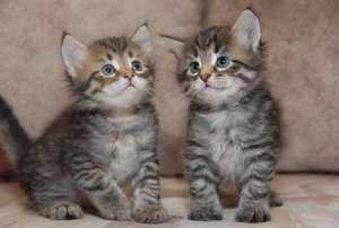 Charming Siberian Kittens For Adoption