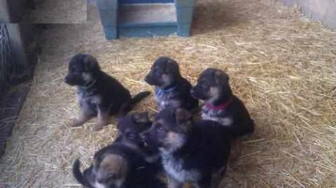 Cute German Shepherd Dog Puppies for adoption