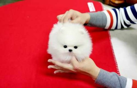 صور Adorable Male And Female Tea cup Pomeranian puppies Out for New 1
