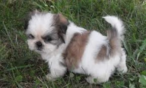صور 2 Shih Tzu Puppies for Xmas Presents 1
