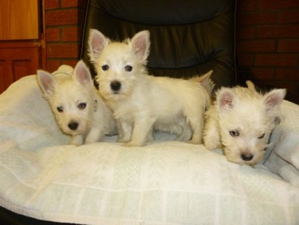 11 Weeks Old and West Highland Terrier Puppies For Xmas
