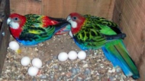 صور Fertile Parrot Eggs Available>:>>>>>> 1