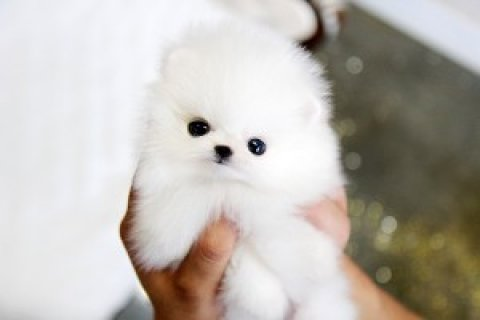 صور Pomeranian for Sale<> 1