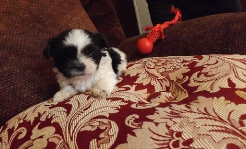 Male And Female Shih Tzu puppies foe sale