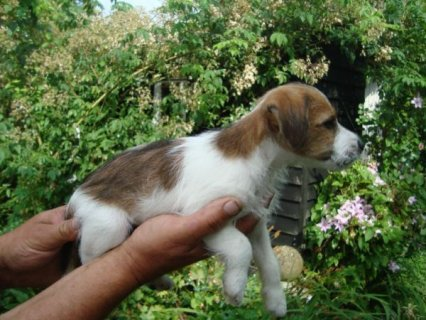 صور 2 JACK RUSSELL PUPPIES READY NOW  1
