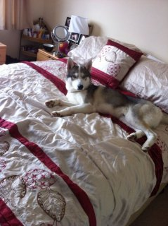 Hi I have an absolutely stunning Siberian husky for sale.(nancyl