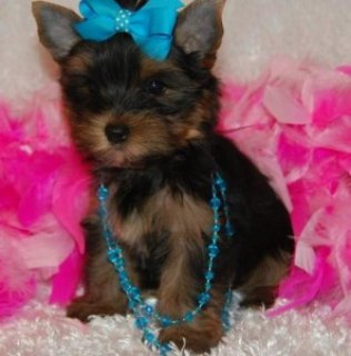 Amazing Yorkie Puppies