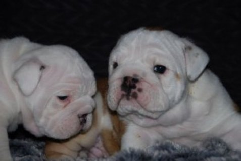 Amazing English Bulldog PuppiesPlease For more info