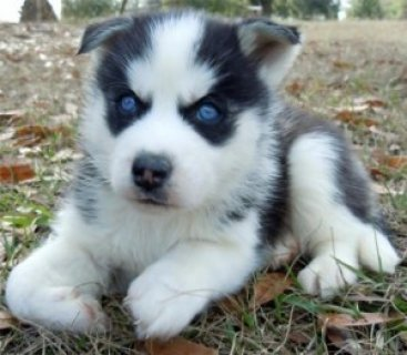صور Purebred Siberian Husky Puppies For Adoption 1