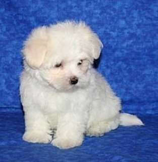 Two Outstanding Maltese Puppies Available