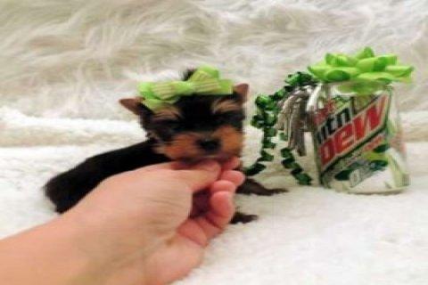 Tiny Teacup Yorkie Puppy