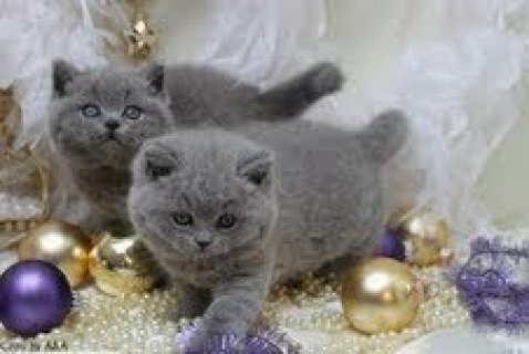 صور British Shorthair kittens for 1