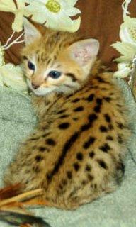 Savannah Kittens For Sale Now