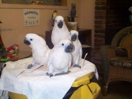 صور Umbrella Cockatoos parrots for Sale 1