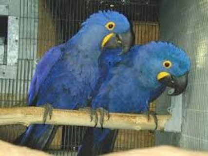 صور MALE AND FEMALE Hyacinth Macaw Parrots for sale 1