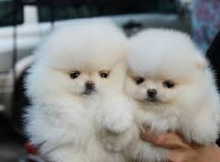 صور Gorgeous Male and Female Teacup Pomeranian Puppies for sale 1