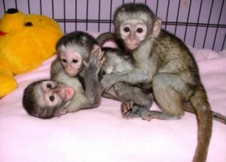 Marmoset And Capuchin Monkeys For Adoption