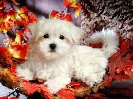 Potty Trained Maltese Puppies for Sale