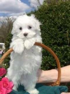 A very lovable and sweet Maltese puppies needs a new home