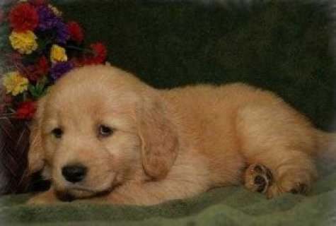 Golden retriever puppies ready