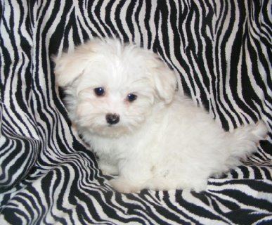 Gorgeous 10 week old Teacup Maltese puppies.