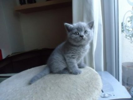 صور British male and female Shorthair kittens 1
