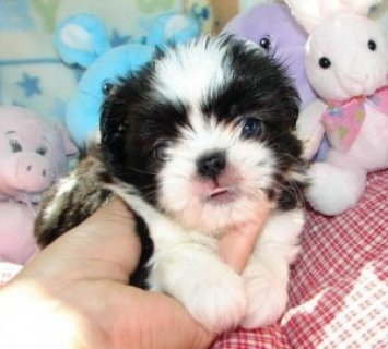 صور ACK Female shih tzu puppy for sale 1