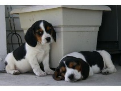 male and female Beagle Puppies For Sale